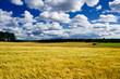 Golden ripe barley field landscape