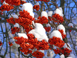 Rowan berries under the snow