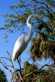 white ibis in a park poster