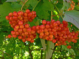 Herbs and alternative medicine: Red guelder-rose berries poster