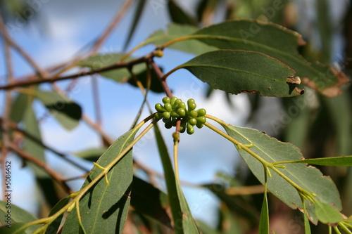fiori di eucaliptus
