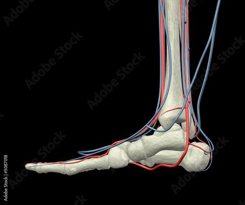 bones of foot. Foot Bones, Arteries and Veins
