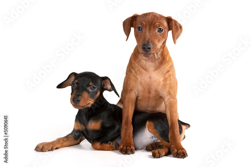 Brown pinscher puppy