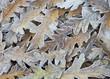 Frosty Oak Leaf Background