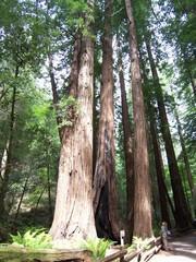 Mammutbaum und Wanderer