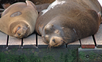 Snoozing sea lions