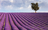 Fototapety Lavender field and a lone tree