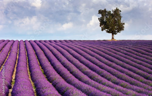Lavender field and a lone tree © Andreas Karelias