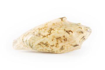 Shell isolated on white background