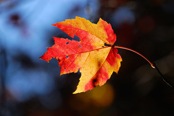 Last leaf of the red maple