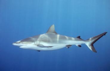 shark swimming underwater