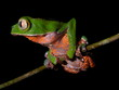 Amazon frog clinging to branch