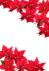 Red Poinsettia - background