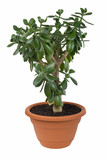 Dollar plant (Crassula ovata) known also as jade plant or money poster