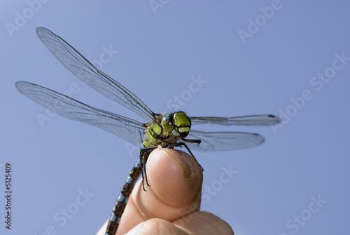 Libellendressur