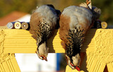 Two abated partridges during one hunted. poster