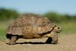 Quadro Mountain tortoise (Geochelone pardalis)