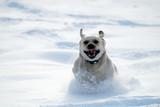 Labrador retriever run in deep snow poster