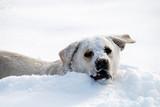 Labrador retriever in snow poster