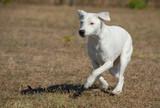 course de jack russel terrier poster