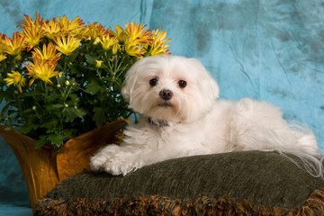 pure breed maltese, studio shot