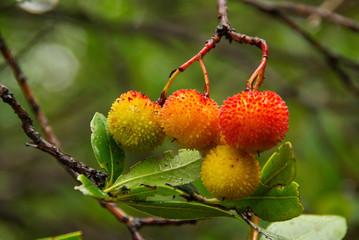 Erdbeerbaum 03