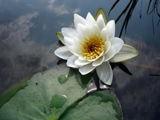 Water wild  lily in the river