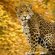roleta: Jaguar - Panthera onca