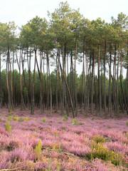 Paysage de la forêt landaise