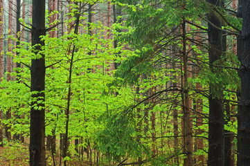 Spring Maple in Pine Forest