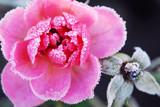 Icy rose - Fine Art prints