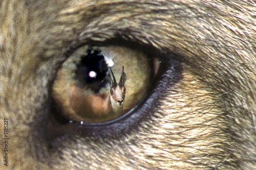 Fototapeta oko - drapieżnik - Dziki Ssak
