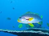 Fototapety gros poisson