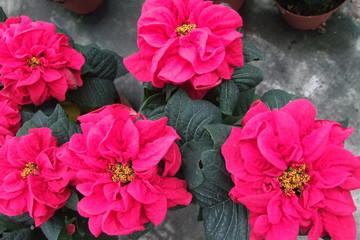 Euphorbia pulcherrima winterrose