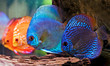 colorful discus fish