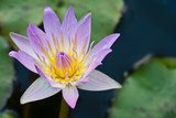 Mauve waterlily closeup macro