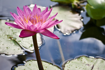 Pink Lotus waterlily - Backlit