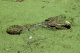 Detail of crocodile head on swamp poster