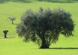 Verde ulivo poster