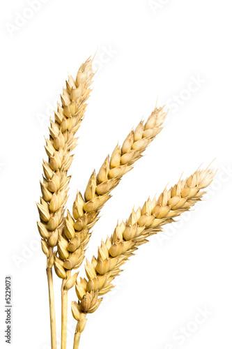 Weizenähren isoliert auf weiss