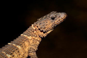 Girdled lizard (Cordylus spp.)