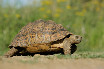 Mountain tortoise (Geochelone pardalis)