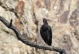 bald ibis poster