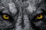 Fototapeta niebezpieczny - atak - Dziki Ssak