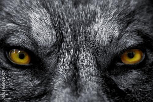 Fotobehang Wolf regard de predateur