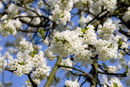 Leinwandbild Motiv Apfelblüte