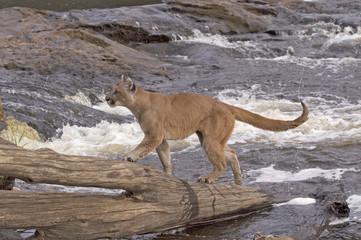 Cougar at river's edge