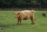highland cow. highland cattle  poster