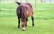 horse grazing grass in field