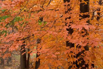 orange leaves on fall trees